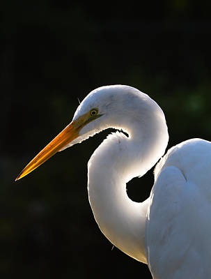 Contemplative Egret Print by Andres Leon