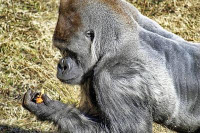 Gorilla Photograph - Contemplative by Jason Politte
