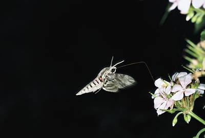 Agrius Photograph - Convolvulus Hawk-moth Agrius Convolvuli by Konrad Wothe