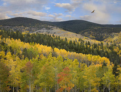 Coopers Hawk Flying Over Quaking Aspen Print by Tim Fitzharris