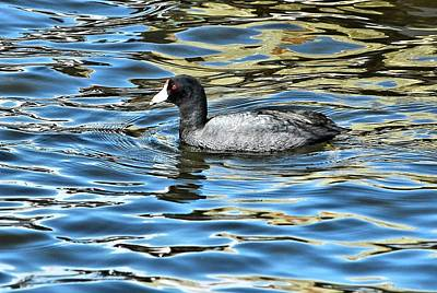 Canadian Photograph - Coot In The Lake by Don Mann
