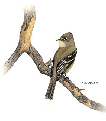 Cordilleran Flycatcher On Snag Original by Kalen Malueg