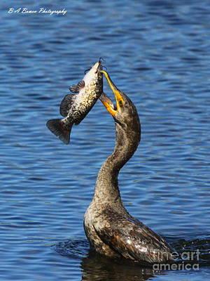 Cormorant Catches Catfish Original by Barbara Bowen