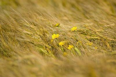 Islay Photograph - Corn Marigolds (chrysanthemum Segetum) by Duncan Shaw