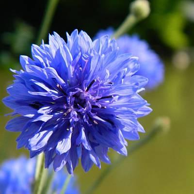 Cornflower Blue Print by Sharon Lisa Clarke