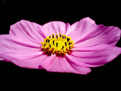 Bright Photograph - Cosmia Pink Flower by Sumit Mehndiratta