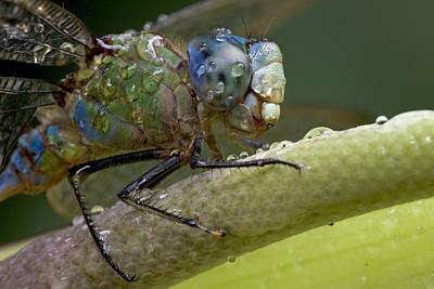 Dragonfly Eyes Photograph - Costa Rican Dragonfly by Piotr Naskrecki