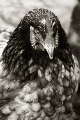 Country Chicken 5 Print by Scott Hovind