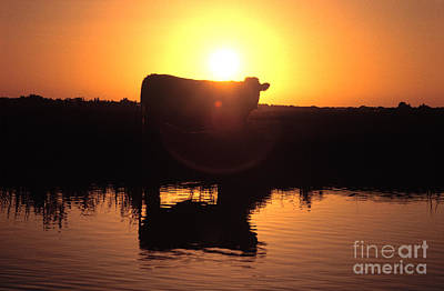 Cow At Sundown Print by Picture Partners and Photo Researchers
