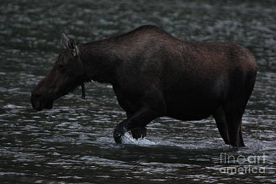 Moose Photograph - Cow Moose by Dave Knoll