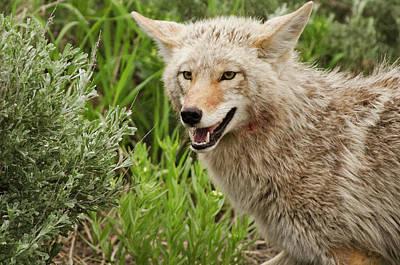 Coyote Hunting Print by Bjbowne