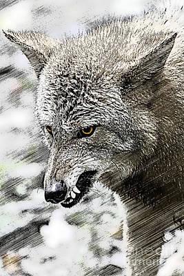 Coyote Snarling Print by Dan Friend