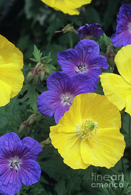 Cranesbill And Iceland Poppy Flowers Print by Archie Young