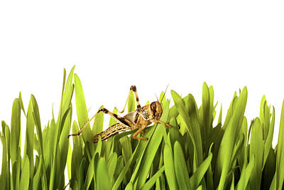 Cricket In Wheat Grass Print by Pascal Preti