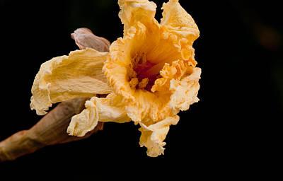 Daffodils Photograph - Crispy Two by Danielle Del Prado