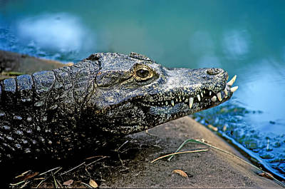 Crocodile Smile Print by Garry Gay