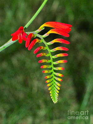 Nature Photograph - Crocosmia - Lucifer Plant by Sean Griffin