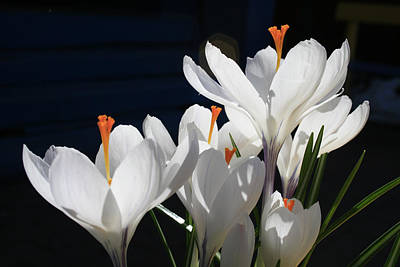 Crocus Three Print by Alan Rutherford