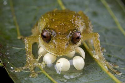 Piotr Naskrecki Photograph - Cross Frog Male Protecting Eggs Papua by Piotr Naskrecki
