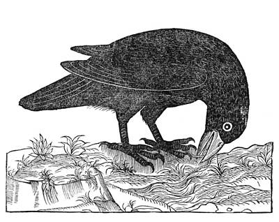 Bird And Worm Photograph - Crow, Historical Artwork by Middle Temple Library