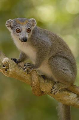 Crowned Lemur Eulemur Coronatus Female Print by Pete Oxford