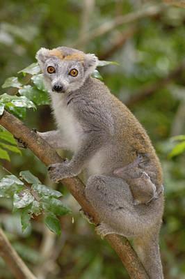 Crowned Lemur Eulemur Coronatus Mother Print by Pete Oxford