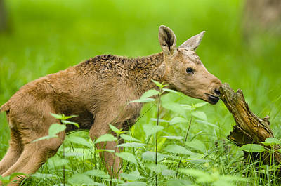 Curios Photograph - Curiosity - A Baby Mooses Business by Andy-Kim Moeller