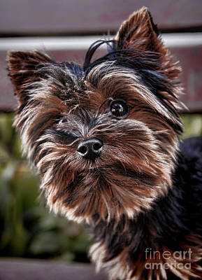 Curious Yorkshire Terrier Print by Mariola Bitner