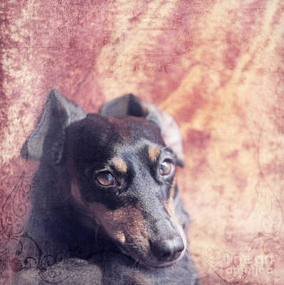 Lazy Dog Photograph - Cute Daschund by Angel  Tarantella