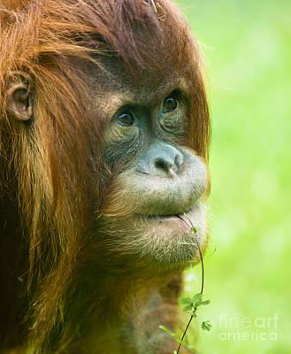 Orangutan Photograph - Cute Orangutan by Andrew  Michael
