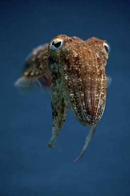 Cuttlefish Print by Stavros Markopoulos