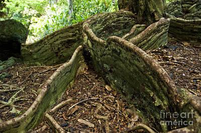 Cypress Tree On Hawaii Print by Micah May
