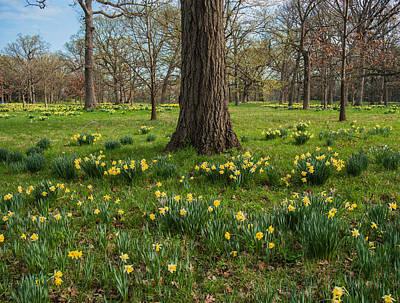 Daffodil Glade Number 2 Print by Steve Gadomski