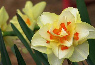 Floriade Photograph - Daffodil by Lauren Cawthron