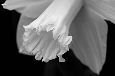 Flora Photograph - Daffodil by Lisa Phillips