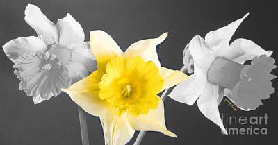 Daffodil Trio  Print by Cheryl Young