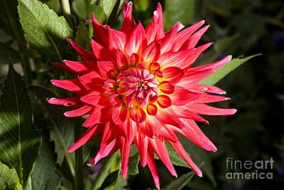 Beautiful Photograph - Dahlia by Cindy Singleton
