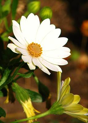 Flower Photograph - Daisies by Michelle Cassella