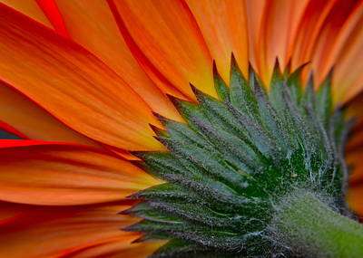 Daisy Delight Print by Frozen in Time Fine Art Photography