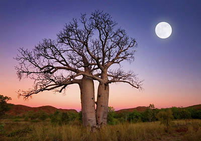 Bare Trees Photograph - Dancing Boabs Kununurra by Julie Fletcher
