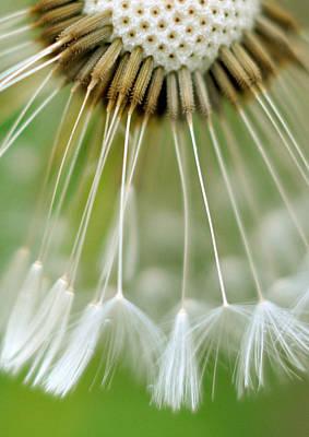 Dandelion Seeds Print by Laurianne Garraud
