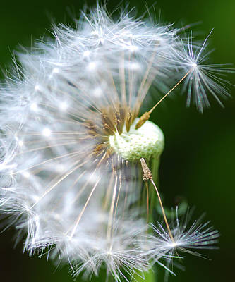 Dandelion Digital Art - Dandelion Seeds by Optical Playground By MP Ray