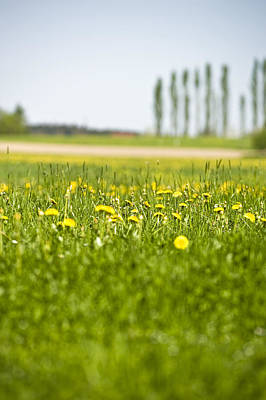 Close Focus Nature Scene Photograph - Dandelions Growing In Meadow by Stock4b-rf