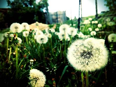 Floral Photograph - Dandelions  by Rick Ryan