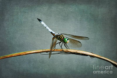 Dragonfly Photograph - Danger Below by Susan Isakson