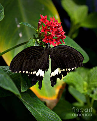 Dark Butterfly Print by Nicole Tru Photography