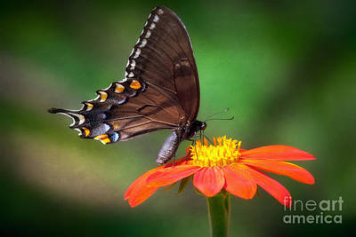 Butterfly Photograph - Dark Form Female Eastern Tiger Swallowtail  Butterfly by Susan Isakson