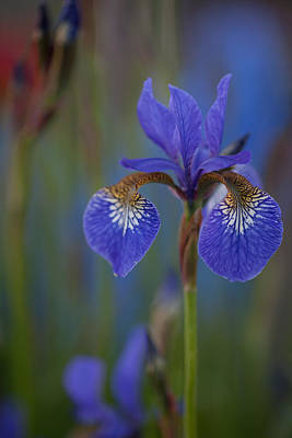 Irises Photograph - Decorated Iris by Mike Reid