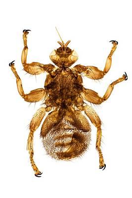 Deer Fly, Light Micrograph Print by Dr Keith Wheeler