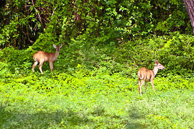 Deer On The North Of St. Croix Print by David Alexander